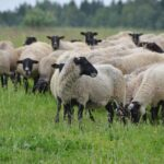 Власти Хакасии выделили 19 миллионов на племенных овец