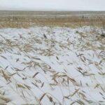 В Хакасии снег похоронил более 16 тысяч га зерновых. В районе введен режим ЧС